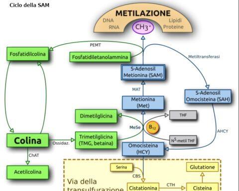 Mthfr-Ciclo della Metionina
